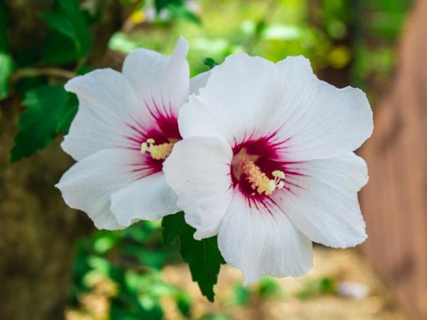 hibiskus hecke hibiscus syriacus garten sichtschutz