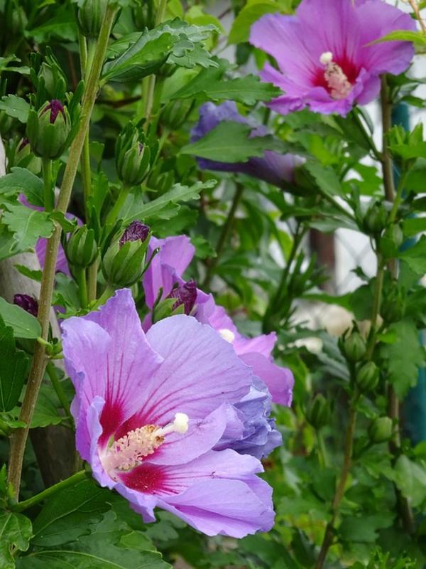 hibiskus hecke hibiskus blüten lils frische gartenideen