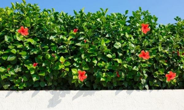 hibiskus hecke richtig pflegen passender sichtschutz sommer