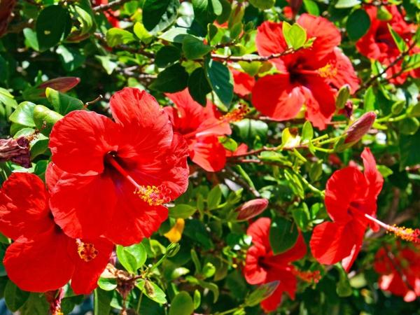 hibiskus hecke rote blüten bunte gartenideen