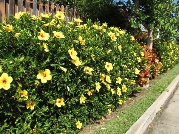 hibiskus hecke schöne gartensträucher heckenpflanzen