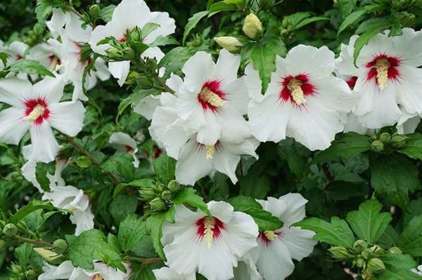 hibiskus hecke weißer hibiskus gartenhecke ideen sommer