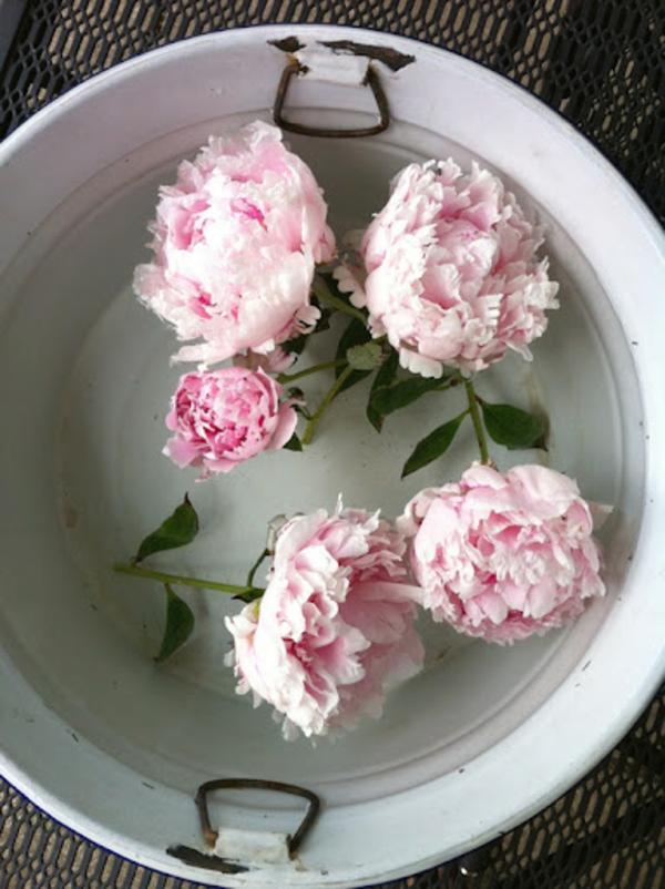 pfingstrosen in der vase pflegetipps schnittblumen pfingstrosen baden