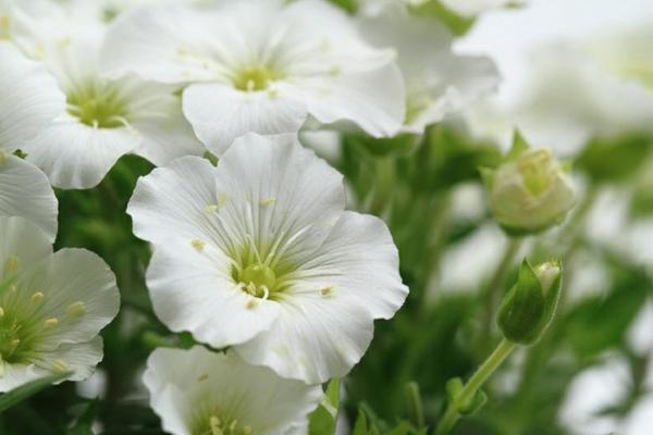 sandkraut blüte weiß zart winzig