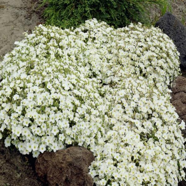 sandkraut im garten bodendecker weiße blütenpracht