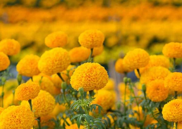 tagetes gelbe studentenblumen gelbe sommerblumen