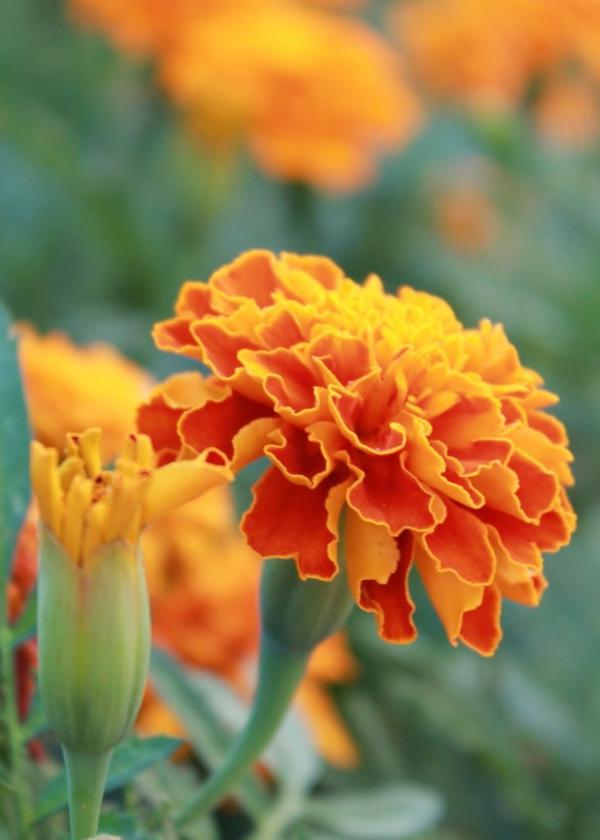 tagetes ausgefallene blüte sommerliche farben