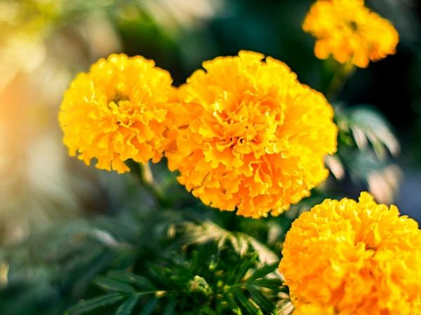 tagetes gelbe sommerblumen frischen garten gestalten sommer