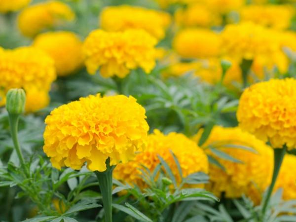 tagetes gelbe studentenblumen gartenideen sommerdeko