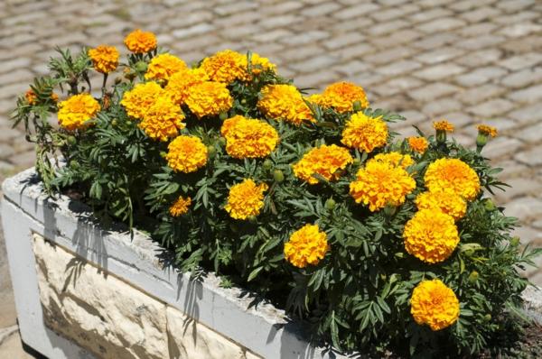tagetes pflanzkübel gelbe sommerblumen balkonblumen ideen