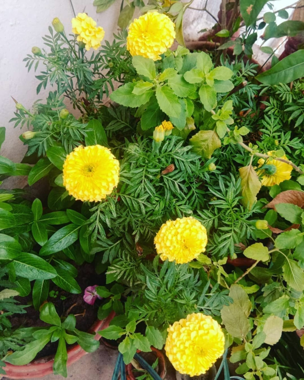 tagetes topfpflanzen balkon dekoideen gelbe studentenblumen