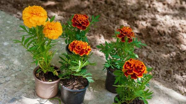tagetes topfpflanzen frische sommerblumen