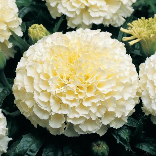 tagetes weiße studentenblume gartenblumen sommer garten gestalten ideen