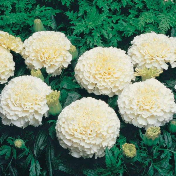 tagetes weiße studentenblumen frische gartenideen gartenblumen
