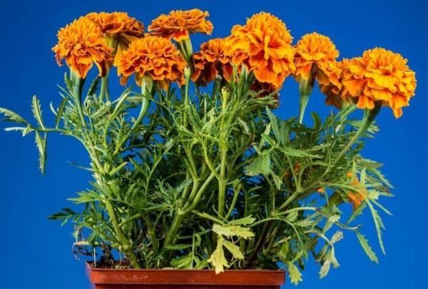 tagetes zimmerpflanzen sommerblumen frische dekoideen