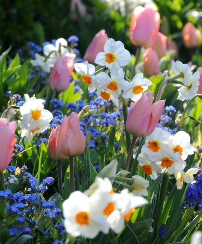 Blumenzwiebeln setzen im Herbst für eine prachtvolle Frühlingsblüte frühlingsgarten ideen reich bunt