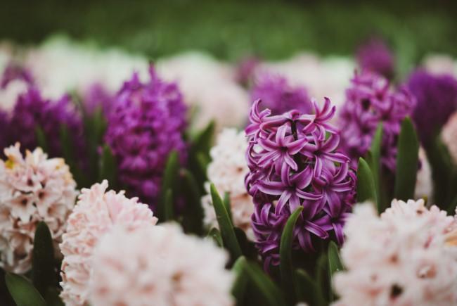 Blumenzwiebeln setzen im Herbst für eine prachtvolle Frühlingsblüte hyazinthen lila creme garten ideen