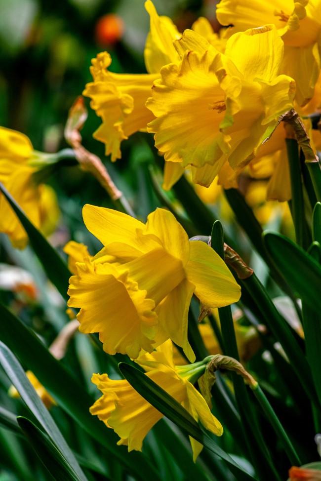 Blumenzwiebeln setzen im Herbst für eine prachtvolle Frühlingsblüte narzissen gelb bunt