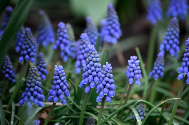 Blumenzwiebeln setzen im Herbst für eine prachtvolle Frühlingsblüte traubenhyazinthen im garten hübsch blau