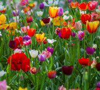 Blumenzwiebeln setzen im Herbst für eine prachtvolle Frühlingsblüte