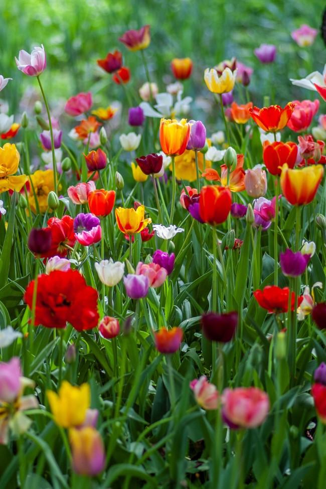 Blumenzwiebeln setzen im Herbst für eine prachtvolle Frühlingsblüte tulpen zwiebeln ideen bunt