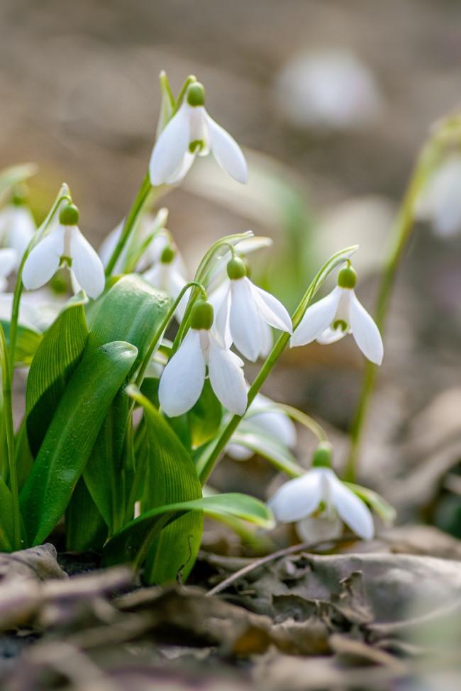 Blumenzwiebeln setzen im Herbst für eine prachtvolle Frühlingsblüte weiße schneeglöckchen garten