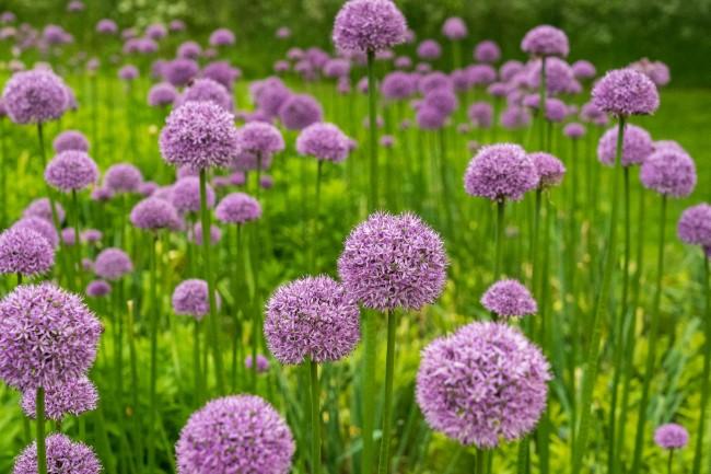 Blumenzwiebeln setzen im Herbst für eine prachtvolle Frühlingsblüte zierlauch allium lila garten