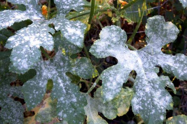 Echter Mehltau Befall Hortensien Blätter
