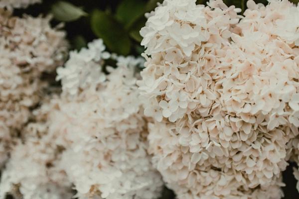 Echter Mehltau Pilzkrankheiten Gartenpflanzen Hortensien