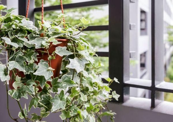 Efeu Ideen für Ampelpflanzen