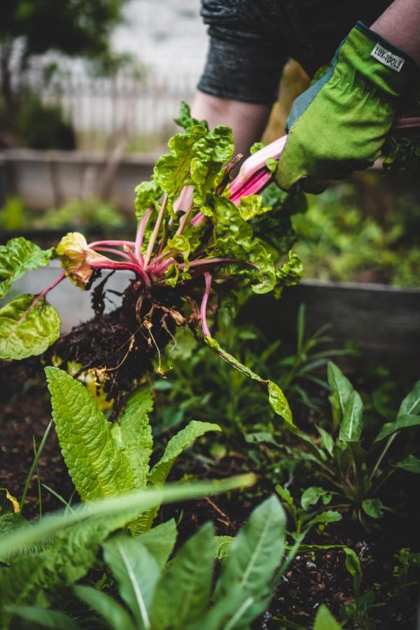 Ein Kleiner Gemüsegarten vor der Haustür – die Vorteile des eigenen Gemüseanbaus gemüse aus dem eigenen vorgarten