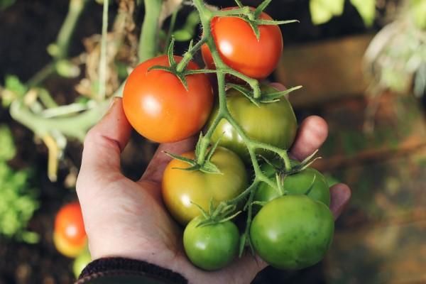 Ein Kleiner Gemüsegarten vor der Haustür – die Vorteile des eigenen Gemüseanbaus tomaten aus dem eigenen garten