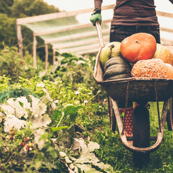 Gartenarbeit im Oktober Erntezeit für Kürbisse im Gemüsegarten