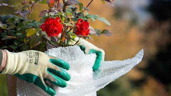 Gartenarbeit im Oktober Rosensträucher vor dem Winterfrost schützen
