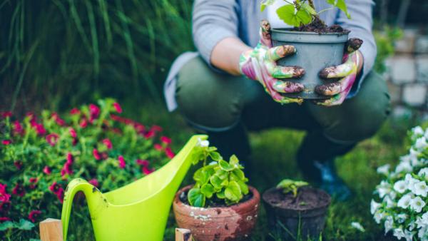 Gartenarbeit im Oktober Topfpflanzen und Blumen auf Überwinterung vorbereiten Geranien im Topf