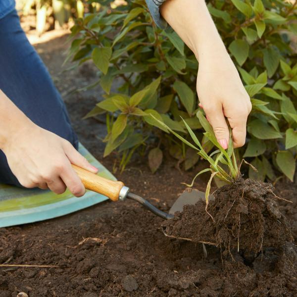 Gartenarbeit im Oktober Unkraut vom Staudenbeet entfernen wichtige Aufgabe für alle Hobbygärtner