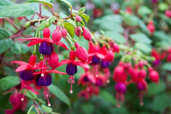 Grelle Blüten einer schönen winterharten Ampelpflanze