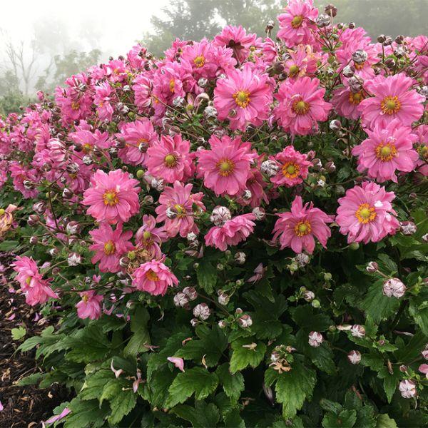 Herbstanemonie Ampelpflanzen Gartengestaltung Trends