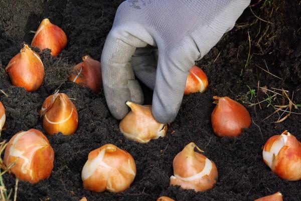 Herbstputz im Heim und Garten – natürliche Putzmittel und Checkliste zwiebeln tulpen pflanzen