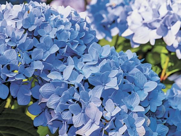 Hortensien Blüten blau blühende Gartenpflanzen