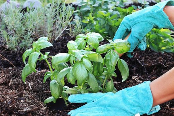 Criando um jardim de ervas 10 erros possíveis, manjericão no jardim