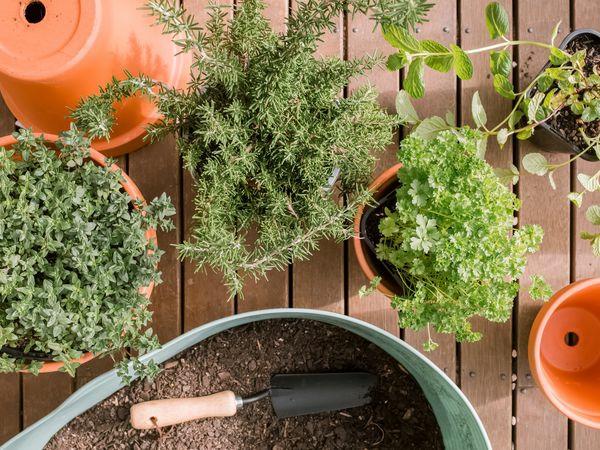 Criando um jardim de ervas 10 erros possíveis, dicas