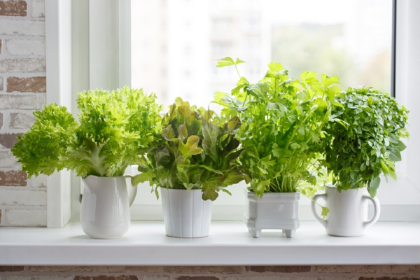 Ervas culinárias aromáticas frescas em vasos brancos no parapeito da janela.  Alface, folha de aipo e manjericão de pequenas folhas.  Horta de ervas.