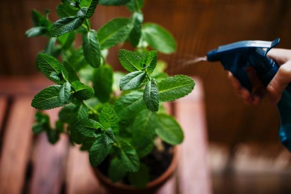 Jardim de ervas para iniciantes - idéias para joaninha regando e pulverizando ervas