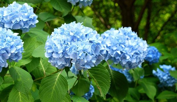 Mehltau Pilzkrankheiten Gartenpflanzen blaue Hortensien