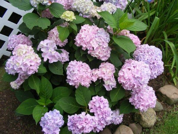Mehltau Pilzkrankheiten Hortensien Gartenpflanzen