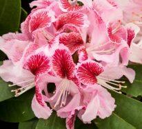 Rhododendron schneiden – muss man das und wie geht es?