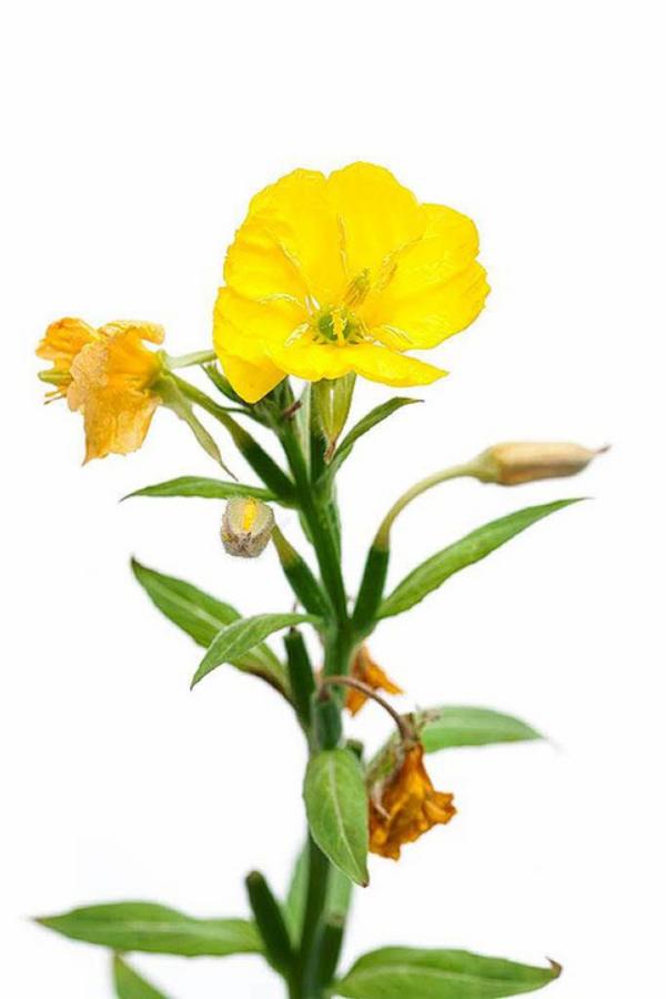 Nachtkerze eine wichtige Heilpflanze alle Pflanzenteile sind essbar Einsatz in der Küche