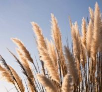 Pampasgras schneiden: Alles, was Sie darüber wissen sollten