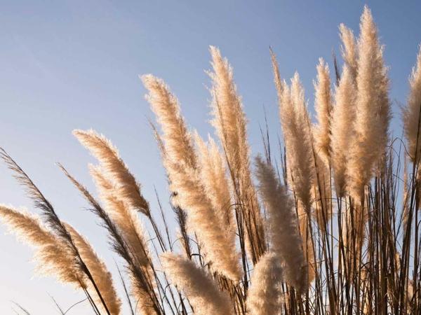 Pampasgras Anbau Rückschnitt und Pflege